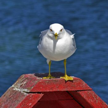 Ring Billed Gull, Bay Roberts NL Canada