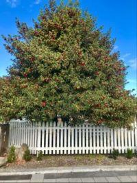 Fabulous Holly Tree