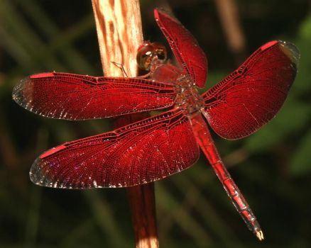 Red Dragonfly - Indonesia