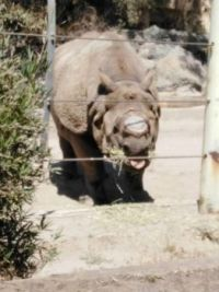 nosorožec rhinoceros