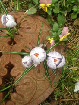 Crocus coming up through the paver