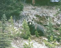 grizzly2 (2)