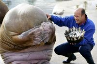 Embarrassed walrus when given a cake made of fish for his birthday, Norway.