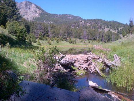 beaver dam Yellowstone
