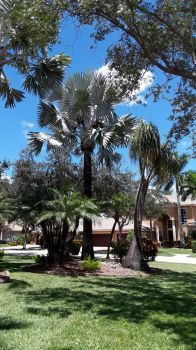40 ft. silver/green Bismarck Palm Tree growing in my front Garden