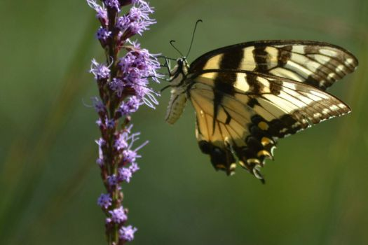 Butterfly on Liatris , Swallowtail and Blazing Star.