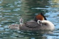 Australasian Grebe with babies