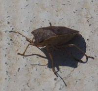 Stink Bug (I think)