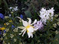 narcis a hyacinty
