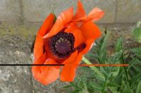 Looking right into the heart of the poppy