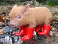 Pig N Boots