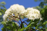Sorbus aucuparia (European rowan)