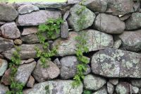 Patterns in a Stone wall with vines