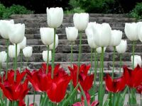 THEME:Gardens~ White and red tulips