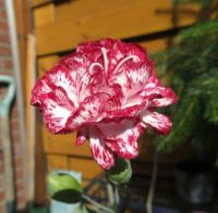 Carnation in bloom