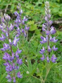 Wild lupins in bloom