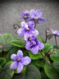 Fantasy-Blossomed African Violet