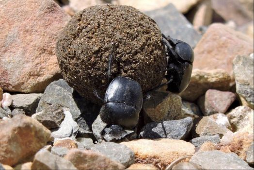Busy Dung Beetles
