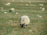 Grazing Sheep in Spring