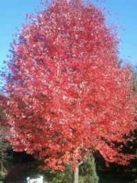 Blazing red tree