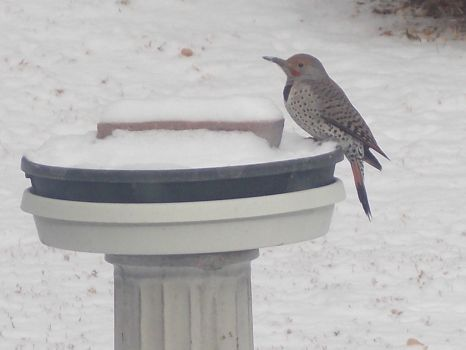 flicker getting some snow!!!!