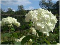 Hydrangea  -  Hortenzie