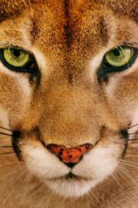 Green eyes Cougar