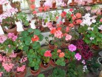 My geraniums (pelargoniums)