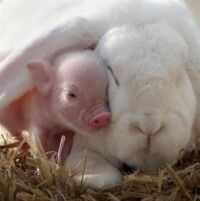 Rabbit Pig