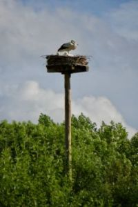 Stalking a stork