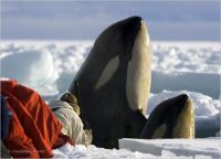 Killer Whales-Discovery Channel