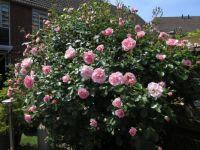 My Bonica Rose 15 June 2021)