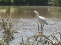 Spoonbill on our lake