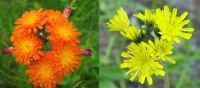 Orange & Yellow Hawkweed-aka Devils Paintbrush & King Devil