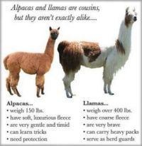 Alpacas and Llamas--What's the difference