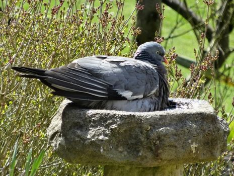 Big pigeon, small bird bath