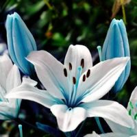Blue Heart Lily