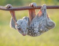 Sunda Colugo or Malaysian Flying Lemur