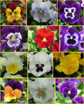 12 'faces' of Pansies at the Carnival of Flowers!