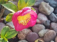 Yuletide Camellia with Dew on Rocks
