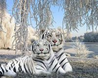 White-tigers-in-winter