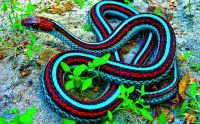 Blue and Red Snake
