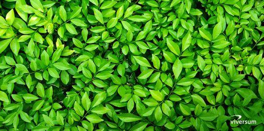 juicy green leaves