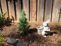 Dwarf Alberta Spruce in New Home