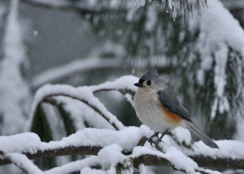 Tufted Titmouse, Northeastern Blizzard of 2013