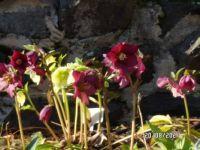 Hellebores Winter Roses