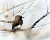 BLACK PHOEBE SITTING BY WATER