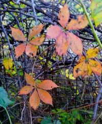 5 leaf akebia in autumn