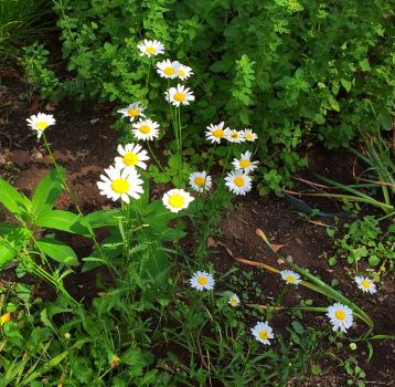 A pretty bunch of daisies