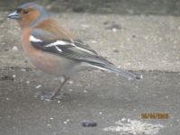 Chaffinch looking for food